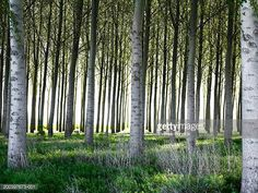 Image result for poplar trees in south africa
