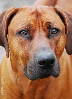 Rhodesian Ridgeback - simply gorgeous dogs.