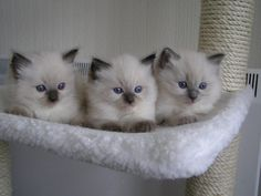 ragdoll kittens cute | Cute Cats Pictures