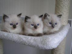 I love Siamese cats!
