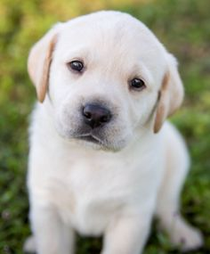 Please visit our website - breeds toys clothes for sale for sale for sale for adoption dog breeds dogs dogs a pet puppy of Cute Baby Animals, Animals And Pets, Nature Animals, Cute Puppies, Dogs And Puppies, White Lab Puppies, Baby Puppies, Doggies, Labrador Retriever
