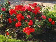 Marketanpuiston ruusuja
