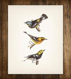 Yellow, Black & Blue Warbler Birds Vintage Print by Printed Vintage on Scoutmob Shoppe