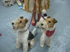 fox terriers They look JUST like my Sherlock and Watson.  Double trouble and smart!!!!!!