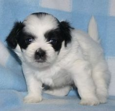 FuzzyWuzzyPups.com when ONLY the best Teddy Bear Puppies will do!!