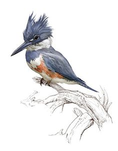 Belted Kingfisher by Patrick Lynch Photoshop ~ 11.5 x 9