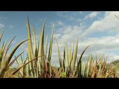 #Aloe Vera. What a beautiful video from the farm in Costa Rica where they very carefully harvest the aloe. All the intricacies of how this plant gets to our lips is a gorgeous process. We are thankful!