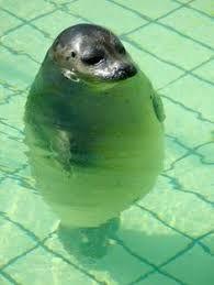 Bildresultat för seal with squooshed fase