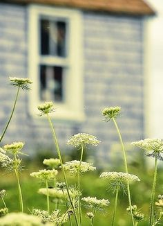 Queen Anne's lace-Renee's and Shepherds have wonderful seeds for this plant.