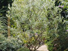 Learn how to grow an olive tree as a houseplant or in your garden with care tips from the experts at HGTV Gardens.