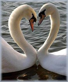 The Swan A love swan heart forming in a shallow river water an embracing scene with care. See it glide in the moonlight with an armful of white rose blo. The swan Love Birds, Beautiful Birds, Animals Beautiful, Cute Animals, Beautiful Swan, Beautiful Pictures, Swan Love, Heart In Nature, Heart Art