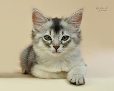 Silver shaded ticked tabby Somali kitten