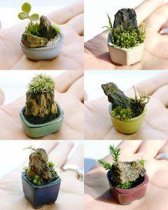 Strategies For Bonsai Growing in Munfordville, Kentucky Bonsai Plants, Bonsai Garden, Succulents Garden, Micro Garden, Mini Fairy Garden, Miniature Plants, Miniature Fairy Gardens, Mini Mundo, Mame Bonsai