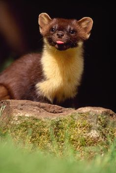 Pine Martens from our Hides (Aigas Field Centre, Scotland)