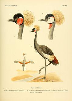 Genera avium / - Biodiversity Heritage Library