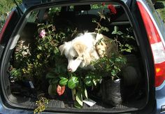 Some lovely fragrant roses and your furry dog could also enhance the experience of spending hours in your car (as long as the dog has recently had a bath). Easter Plants, Fragrant Roses, Dog Car, Plant Sale, Houseplants, Pet Care, Perfect Place, Herbalism, Pets