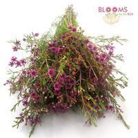 Wax Flower Purple