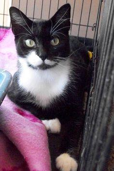 Petfinder  Adoptable | Cat | Tuxedo | Harrodsburg, KY | Ellie (mama cat)