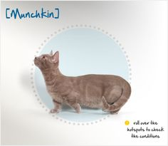 """Munchkins are short-legged cats that are named for the similarly short-statured characters in """"The Wizard of Oz."""" Breeding data has since shown that the short-legged trait is the result of a dominant gene, similar to that found in Corgis and Dachshunds (although the feline trait does not appear to carry with it the spinal problems to which those dogs are prone)."""