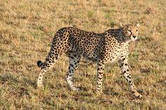 Cheetah in savanna Photo by Svetlana Povarova Ree — National Geographic Your Shot