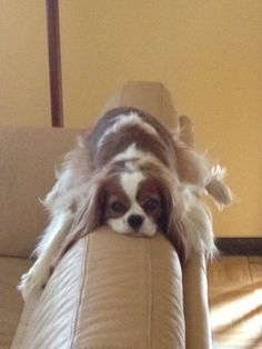Yep, those Cavaliers do that! My mom has one the same color that did this.... We couldn't find her one day and there she was up on the back of the couch!