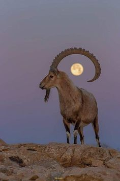 An Ibex and the moon Fast Crazy Nature Deals. Nature Animals, Animals And Pets, Cute Animals, Wildlife Photography, Animal Photography, Travel Photography, Beautiful Creatures, Animals Beautiful, Ibex Goat