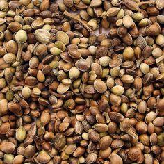Is buying Feminized Marijuana Seeds a Good Idea? Growing Weed Indoors, Seeds Online, Essential Fatty Acids, Beard Care, Hemp Seeds, Medical Marijuana, Vitamins And Minerals, Vitamin C, Seed Oil