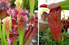 The American Pitcher Plant populates the eastern seaboard of the United States and supplements its nutrition by trapping and digesting insects in its large, steep stem.