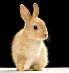 Photo about Rabbit watching the camera in front of a black background. Image of togetherness, animals, bunny - 2330907 Cute Baby Bunnies, Cute Baby Animals, Animals And Pets, Funny Animals, A Bunny, Bunny Rabbits, Easter Bunny, Fluffy Bunny, Tier Fotos