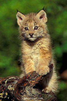 Lince Libérico - O lince ibérico é outro gato ameaçado de extinção. Na verdade, está quase extinto, pois quase apenas 100 deles permanecem na natureza. Esses felinos são vitimas da caça e do desmatamento #linceliberico #gatos #felinos #animaisselvagens #animais