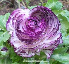 Photo of Persian Buttercup (Ranunculus asiaticus 'Purple Picotee') uploaded by zuzu
