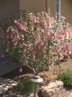 Pink flowering currant. California native plant.