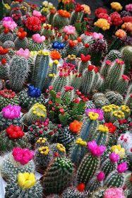 #VIDAsana de #EstelaM #KioskoFiguritas: #PRIMAVERA HERMOSA! Cactus Y Suculentas, Cacti And Succulents, Cacti Garden, Flowering Succulents, Succulent Terrarium, Blooming Succulents, Succulent Seeds, Blooming Flowers, Lavender Flowers