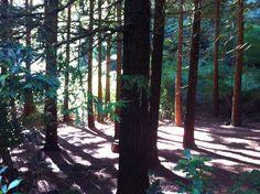 Our famour Redwoods! Te Mata Peak, Havelock North, New Zealand Havelock North, New Zealand, Hiking, Spaces, Landscape, Park, Plants, Pictures, Walks