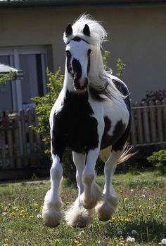 The Gypsy Horse (USA), also known as an Irish Cob (Ireland/UK), Gypsy Cob, Gypsy Vanner (USA), Coloured Cob (UK/Ireland) or Tinker horse (Europe). Another beautiful shot of this horse is pinned farther down on this board - 'Cow Girl' - Domaine du Vallon (France)