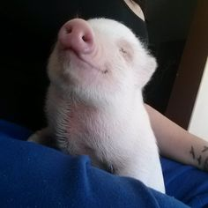 These TINY pigs are the cutest things you'll see today Cute Little Animals, Little Pigs, Cute Funny Animals, Cute Baby Pigs, Cute Piglets, Baby Piglets, Tiny Pigs, Pet Pigs, Baby Animals Pictures