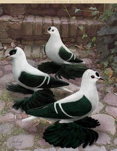 Pigeon art: Black White Barred Swallow Pigeons by Gary Romig