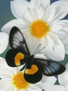 Una preciosa mariposa negra y amarilla sobre unas bonitas flores blancas | A lovely black and yellow butterfly on some pretty white flowers