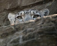 Spying Clouded Snow Leopard.