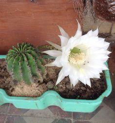 En flor Cactus Y Suculentas, Succulents, Plants, Flower, Succulent Plants, Flora, Plant