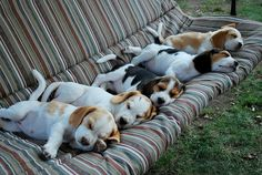 Beagle nap time