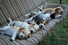 Beagle nap time