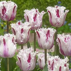 Shop hundreds of tulips for sale for fall planting. Breck's offers the best tulip bulb selection. Shop purple tulips, red tulips, yellow tulips, parrot tulips, darwinhybrid tulips and many more. Act now and save up to plus a lifetime guarantee. Spring Blooming Flowers, Spring Flowering Bulbs, Spring Blooms, Summer Flowers, Part Shade Flowers, Bulb Flowers, Tulips Flowers, White Flowers, Purple Flowers