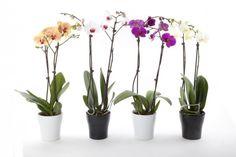 Iníciate en el cultivo de estas bellas y extravagantes flores de delicados cuidados.