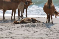 a few of the Wild Horses on Assateauge Island