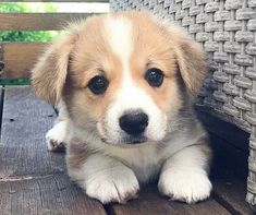 All About Fun Pembroke Welsh Corgi Dgas Cute Animal Pictures, Puppy Pictures, Dog Photos, Cute Little Puppies, Cute Puppies, Dogs And Puppies, Animals And Pets, Baby Animals, Cute Animals