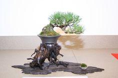 shohin black pine