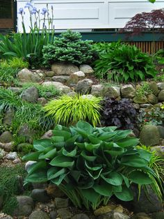 Front yard garden with Hosta nigrescens, golden Japanese forest grass, Heuchera Dolce Licorice and dwarf blue spruce.