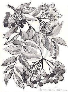 Rowan branch aquarelle by Yana Vergasova, via Dreamstime
