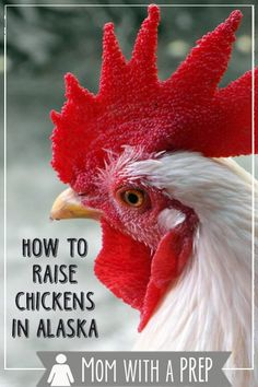 Ever wonder what it is like to raise chickens in Alaska at -70F?